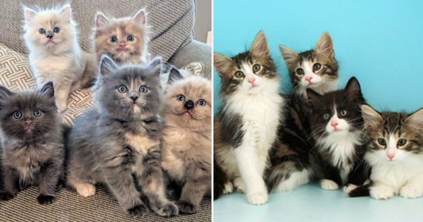 10 Cutest Breeds Of Kittens Ranked Babygaga